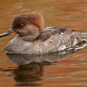 Merganser (F) at Mud Lake