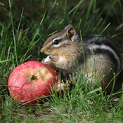Apple Thief