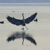Great Blue Heron ... landing
