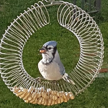 bluejay loves his peanuts
