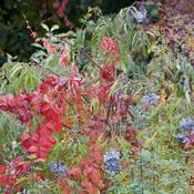 Beautiful colours with the ripe berries and the changing leaves!