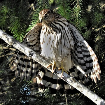 Coopers Hawk Dryng It's Wings