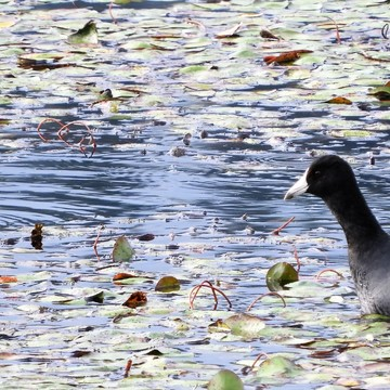 Pied-billed Grebe and American Coot