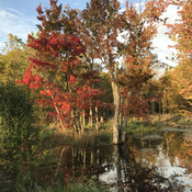 Minesing swamp in fall.