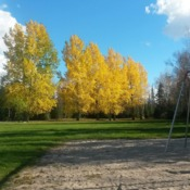 Beautiful Balsam Poplars