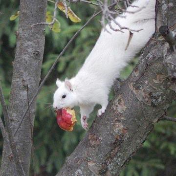 Our local white squirrel