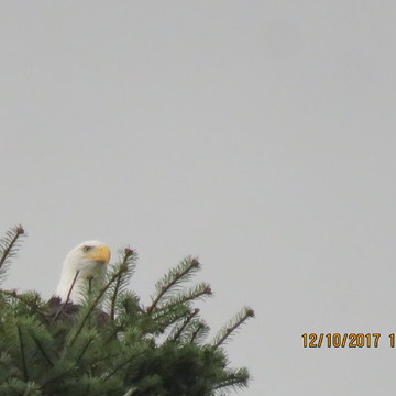 Bald Eagles Making a Nest?