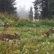 Deer on Grouse