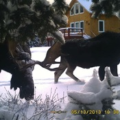 The moose are loose
