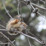 Squeaking red squirrel