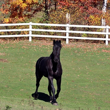 Percheron Horse