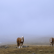 Heavy Horses in Morning Mist