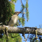Bee Catcher But IT's Cedar Waxwing
