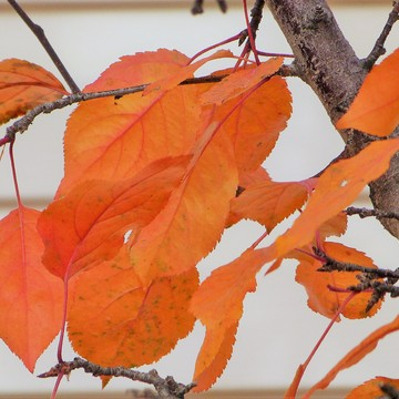 Fall Glory Hanging On