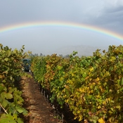 grape picking rainbow