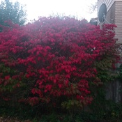 Burning bush in back yard