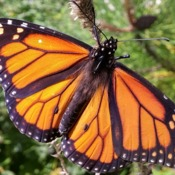 Wings of a Monarch