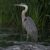 Heron in Humber Bay Park