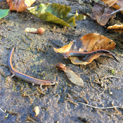 Red-backed salamanders