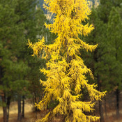Gorgeous larch