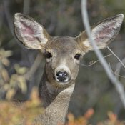 Mule deer up close