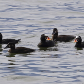 Surf Scoters return to Pat Bay