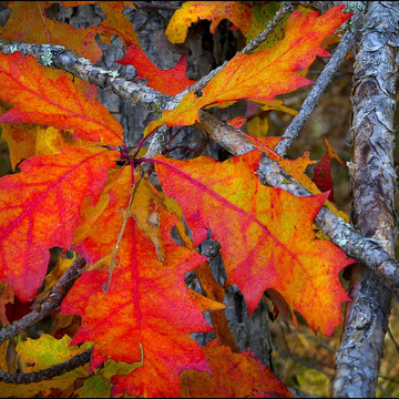 Oak leaves, Elliot Lake.