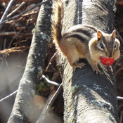 red squirrel gorging itself