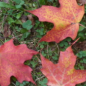 Maple leaves_0879