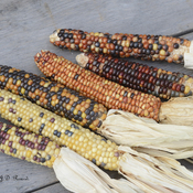 Coloured Corn.