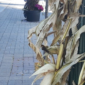 Corn Husks Display