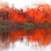 Red Reflections on Trees