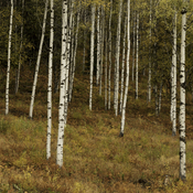 Birches or Aspens?