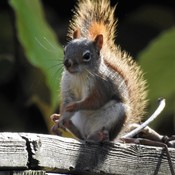 Red Squirrel Day