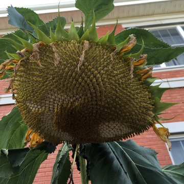 Giant sunflower !!!