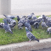 Pigeon Gathering just off of Dundas & Huronrario