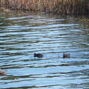 Outardes, canards, ...