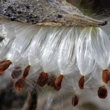 Milkweed - Terra Cotta Conservation Area