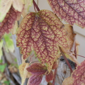 clematis virginiana (Virgin's Bower) fall foliage