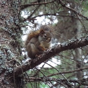 red squirrel in the pines