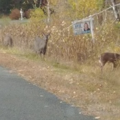Deer out eating lunch
