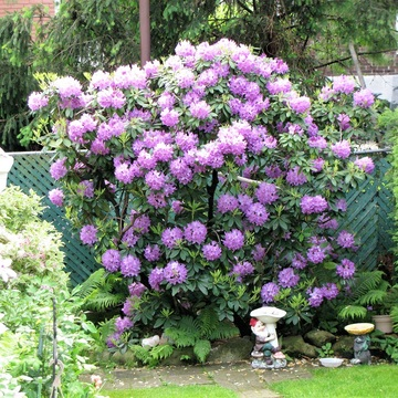 40 year-old Rhododendron