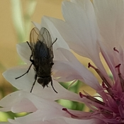 Fly on Fall Garden Flower