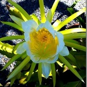 CACTUS FLOWER - San Diego, California