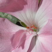 Extreme closeup of zonal pink_0542