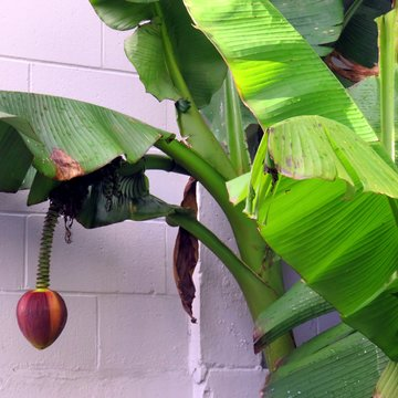 A coconut hang down from a banana tree?