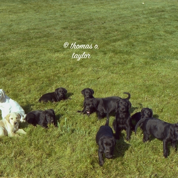 First Litter I Bred 1980