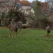 Backyard visitors