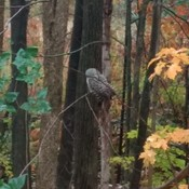 Barred owl.