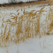 Wheat stalks in the snow
